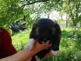 Собаки, щенки Кавказская овчарка, цена 1500 Грн., Фото