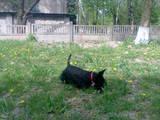 Собаки, щенята Скотчтерьер, ціна 2500 Грн., Фото