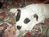 Собаки, щенки Американский бульдог, цена 500 Грн., Фото