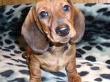 Собаки, щенки Уиппет, цена 2200 Грн., Фото