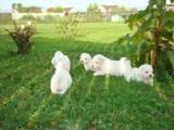 Собаки, щенята Бішон фрісе, ціна 6000 Грн., Фото