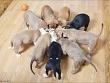 Собаки, щенята Стаффордширський бультер'єр, ціна 800 Грн., Фото