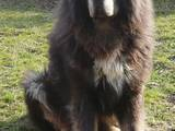 Собаки, щенки Тибетский мастиф, цена 6000 Грн., Фото