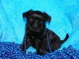 Собаки, щенки Бельгийский гриффон, цена 4000 Грн., Фото
