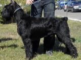 Собаки, щенки Ризеншнауцер, Фото