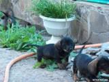 Собаки, щенята Жорсткошерста такса, ціна 1500 Грн., Фото