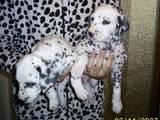 Собаки, щенята Далматин, ціна 1700 Грн., Фото