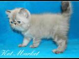 Кошки, котята Экзотическая короткошерстная, цена 1000 Грн., Фото