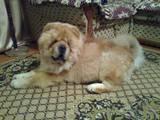 Собаки, щенята Чау-чау, ціна 1000 Грн., Фото