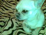 Собаки, щенки Спаривание, цена 1200 Грн., Фото
