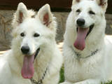 Собаки, щенята Біла Швейцарська вівчарка, ціна 900 Грн., Фото
