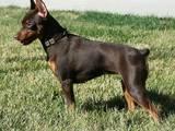 Собаки, щенки Пинчер, цена 700 Грн., Фото