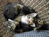 Кішки, кошенята Британська довгошерста, ціна 15 Грн., Фото