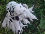 Собаки, щенята Далматин, ціна 600 Грн., Фото