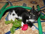 Кошки, котята Азиатская дымчатая, Фото