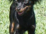 Собаки, щенята Російський довгошерстий тойтерьер, ціна 10 Грн., Фото