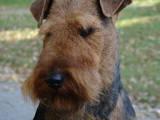 Собаки, щенята Вельштер'єр, ціна 2500 Грн., Фото