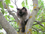 Кошки, котята Невская маскарадная, цена 500 Грн., Фото