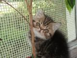 Кішки, кошенята Екзотична короткошерста, ціна 1700 Грн., Фото