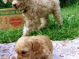 Собаки, щенки Карликовый пудель, Фото