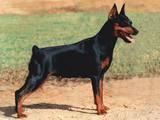 Собаки, щенки Пинчер, Фото