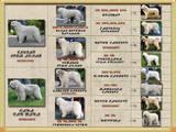 Собаки, щенки Южнорусская овчарка, цена 2500 Грн., Фото