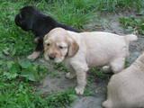 Собаки, щенята Англійська Спрінгер спаніель, ціна 600 Грн., Фото