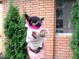 Собаки, щенки Русский длинношерстный тойтерьер, цена 700 Грн., Фото