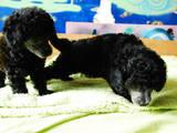Собаки, щенята Той-пудель, ціна 2500 Грн., Фото