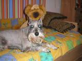 Собаки, щенята Цвергшнауцер, ціна 1200 Грн., Фото
