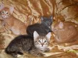 Кішки, кошенята Російська блакитна, ціна 50 Грн., Фото