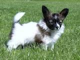 Собаки, щенята Папільон, ціна 7000 Грн., Фото