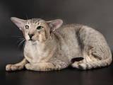 Кошки, котята Ориентальная, цена 2500 Грн., Фото