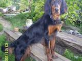 Собаки, щенки Сеттер-гордон, цена 500 Грн., Фото