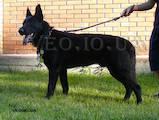 Собаки, щенята Східно-Європейська вівчарка, ціна 6000 Грн., Фото