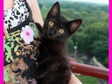 Кошки, котята Европейская короткошерстная, цена 5 Грн., Фото