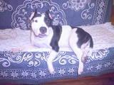 Собаки, щенята Стаффордширський бультер'єр, Фото