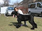 Собаки, щенята Різеншнауцер, ціна 1200 Грн., Фото