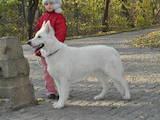 Собаки, щенята Біла Швейцарська вівчарка, Фото
