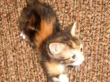 Кішки, кошенята Манчкин, ціна 15 Грн., Фото