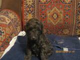 Собаки, щенята Той-пудель, ціна 550 Грн., Фото