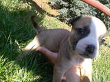 Собаки, щенки Американский бульдог, цена 1000 Грн., Фото