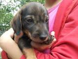 Собаки, щенки Жесткошерстная такса, цена 750 Грн., Фото