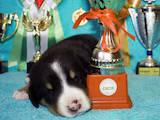 Собаки, щенки Большой Швейцарский зенненхунд, цена 12000 Грн., Фото
