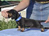 Собаки, щенята Довгошерста такса, ціна 6000 Грн., Фото