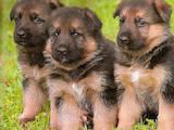 Собаки, щенки Немецкая овчарка, цена 800 Грн., Фото