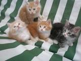 Кішки, кошенята Курильський бобтейл, ціна 2900 Грн., Фото