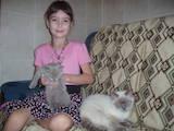 Кошки, котята Спаривание, цена 600 Грн., Фото