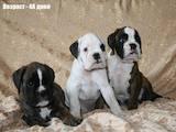Собаки, щенки Боксер, цена 2000 Грн., Фото