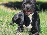 Собаки, щенята Американський бульдог, ціна 100 Грн., Фото